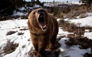 sníh, medvěd, padnu, špičáky