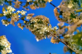flowers, spring, branch, leaves