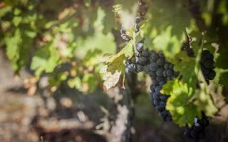sheet, grapes