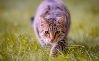 cute, beautiful, striped, cat, sneaks, on, green, the grass