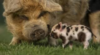 grass, Pig, pig