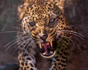 leopard, grin, fangs