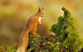 squirrel, red, Animal, moss, snag, ponytail, киточки, antennae