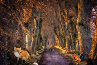 forest, Fox, cock, road