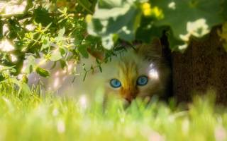 beautiful, blue-eyed, cat, sitting, in, green, the grass
