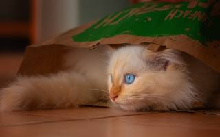 small, blue-eyed, kitten, sitting, in, пакете