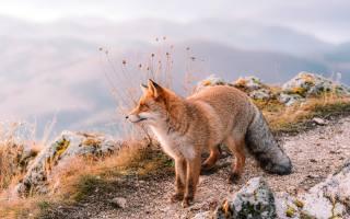 beautiful, red, Fox, goes, on, тропинке