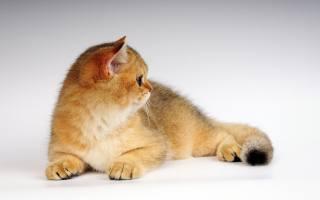 red, породистый, cat