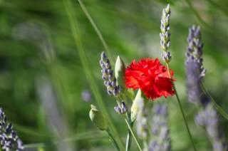 clove, lavender, blurred background