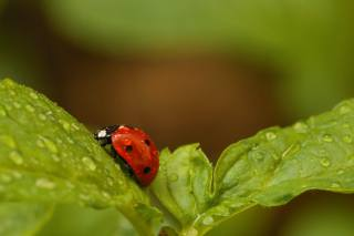 blurred background, leaves, drops, insects, ladybug