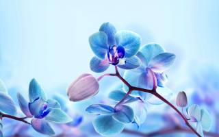 beautiful, blue, Orchid