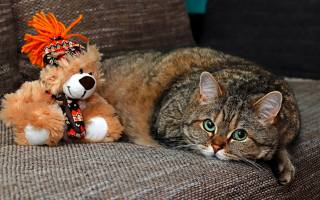great, grey, cat, lies, on, the couch, with, игрушкой