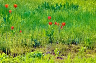 роса, тюльпани, трава, ранок