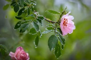 ранок, краплі, квіти