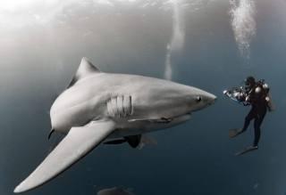 shark, scuba diver, meeting
