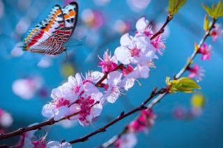 цвітіння, небо, метелик, сакура