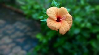 апельсин, цвітіння, фон