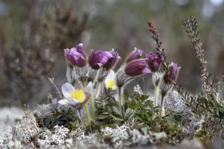природа, весна, первоцвіти, проліски