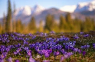 природа, весна, крокуси, первоцвіти, Sosnicki Michal