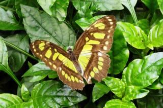 метелик, листя, макро