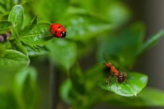 літо, листя, макро, комахи, природа, божа корівка, жук, мураха, парочка