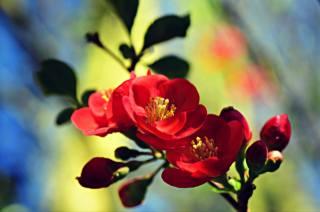 příroda, jaro, větvička, květiny, listy, poupata, kvetoucí