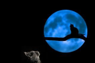 кішка, ніч, місяць, гілка, кішка, силует, фотоманіпуляція