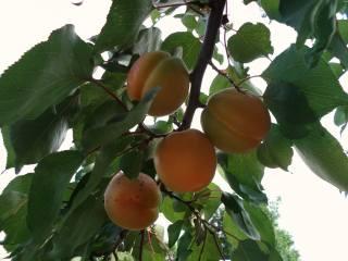 Июнь, абрикос, плоды, витамины