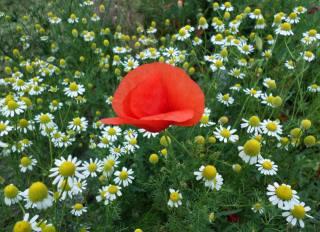 Июнь, луг, полевые, цветы, ромашки, мак