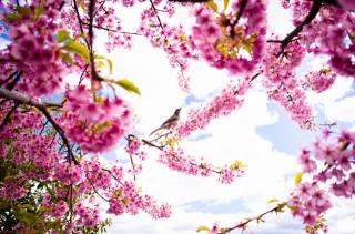 jaro, okvětní lístky, sakura, kvetoucí, pták, nebe