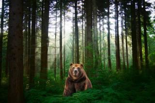 ліс, ведмідь, фотошоп