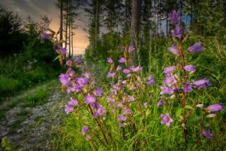 лес, цветы, тропинка