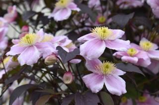 клематис, розмитий фон, рожевий, бутон, квіти