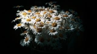 ромашки, букет, чорний, фон, квіти