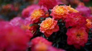 квіти, троянди, кущ