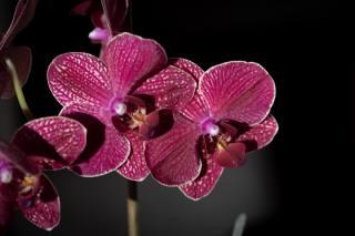 орхідеї, квіти