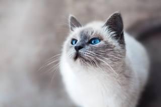 блакитні очі, кіт