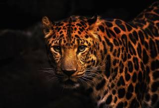 леопард, хижак, велика кішка