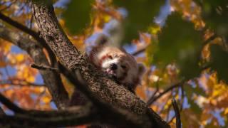 Red Panda, панда, гілка, листя