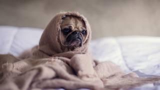 Мопс, собака, один, ковдра