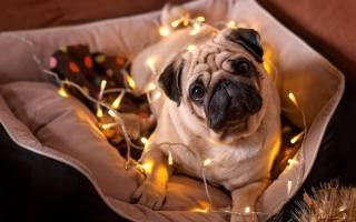 собака, Новий рік, Бульдог, погляд, гірлянда, тварини