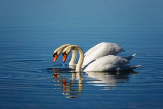 птахи, лебеді, вода, двоє, ПАРА