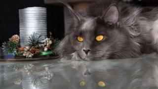 кішка, мейн-кун, Новий рік, погляд, сірий, тварини
