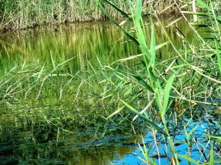 очерет, вода, літо