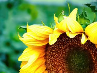 petals, sunflower, summer