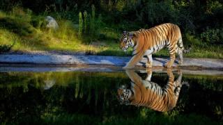 тигр, ставок, відображення, тварини