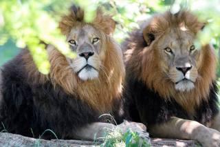 морда, погляд, леви, хижаки, брати, Дика кішка, особа, дивитися, Львів, хижаки, brothers, wild cat