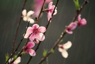 příroda, jaro, kvetoucí, větvičky, květiny, déšť