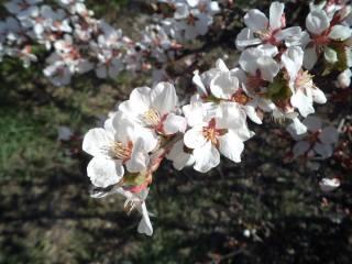 jaro, třešeň, цветение сад