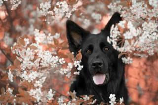 Тварина, собака, пес, чорний, морда, природа, весна, гілки, вишня, цвітіння